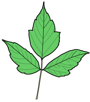Box elder leaf