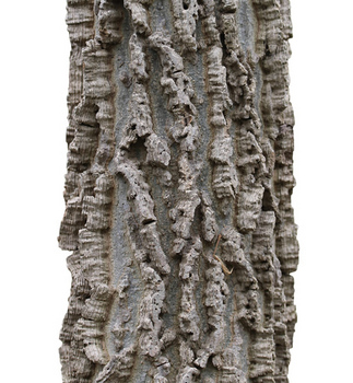 Hackberry bark