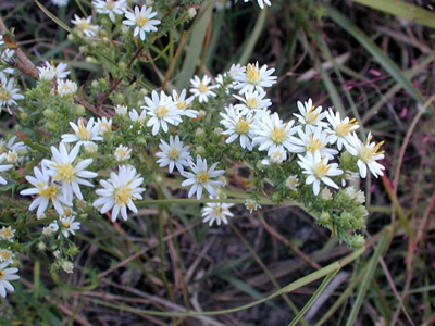 Heath aster flowers