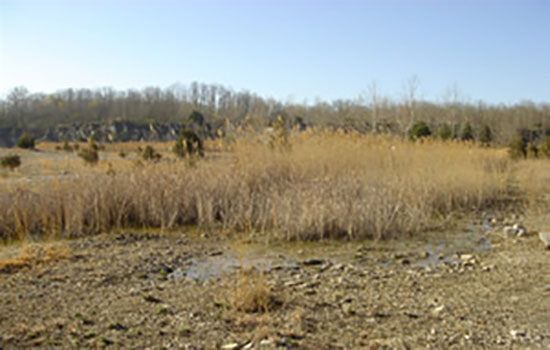 Patch of Phragmites