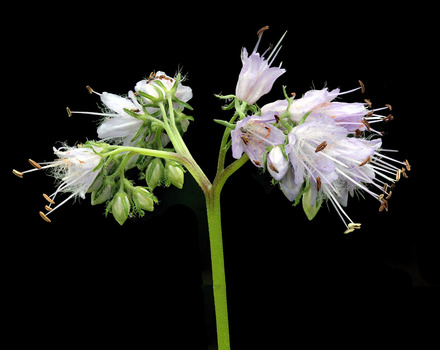 Virginia waterleaf flowers