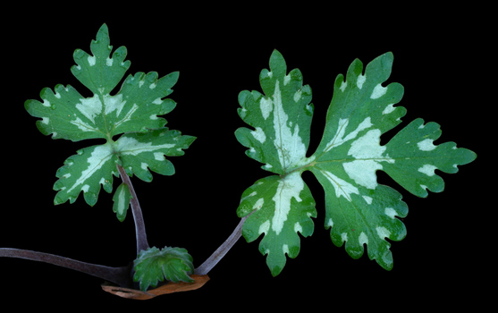 Waterleaf leaves during early spring
