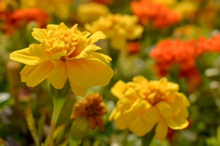 Yellow and orange marigolds found on the campus farm.