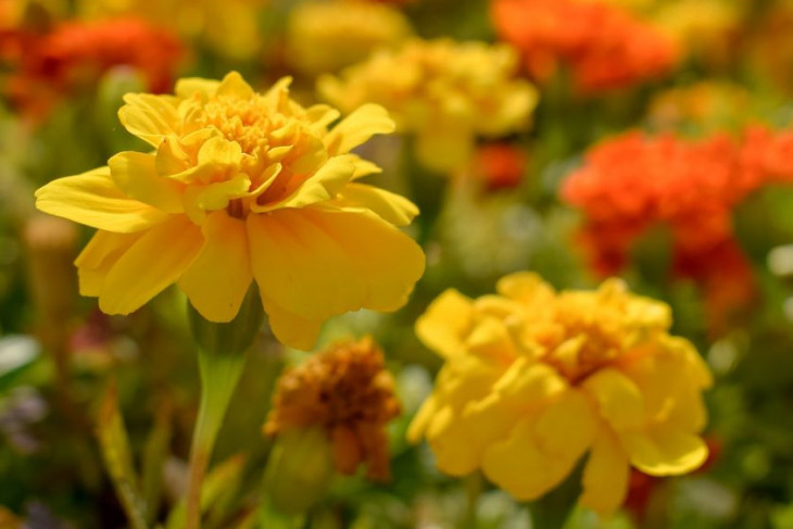 Yellow and orange marigolds on the campus farm.