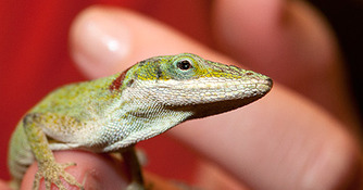 Lizard Fever