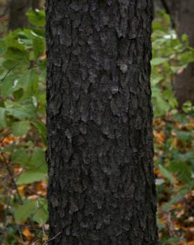 Mythwork: Darkening of... Prunus Serotina Bark