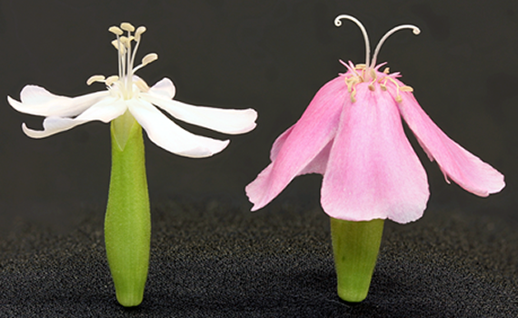 Bouncing bet flowers:  male-phase on left, female-phase on right