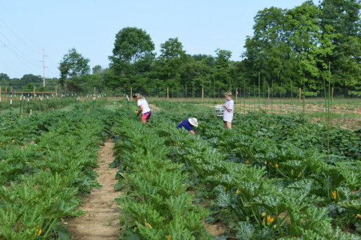 Students working in the fields at the Ullem Campus Farm