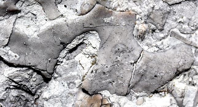 Horn-shaped bryozoan