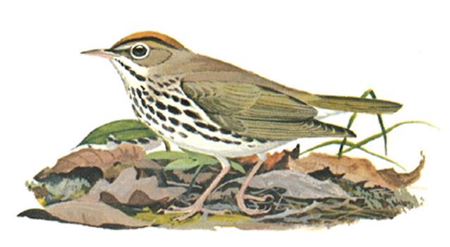 The ovenbird