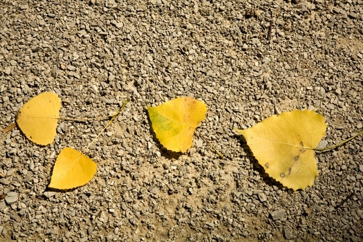 Yellow leaves on gravel by DePauw professor of photography Cynthia O'Dell